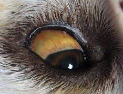 La Leptospirose et comment protéger votre Animal